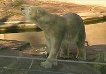 Ursa polar deu à luz recentemente em zôo de Nuremberg, na Alemanha